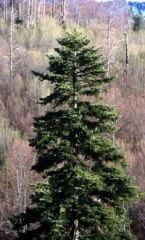 sapin_pectiné_http://www.derborence.ch/flore/arbres/sapin-blanc/