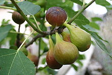 Figues_http://fr.wikipedia.org/wiki/Figue