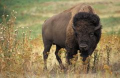 Bison_Jack Dykinga_http://commons.wikimedia.org/wiki/File:American_bison_k5680-1.jpg