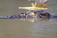 Crocodile_Flickr - Lip Kee_http://commons.wikimedia.org/wiki/File:Cruising_down_the_river_-_Flickr_-_Lip_Kee.jpg?uselang=fr