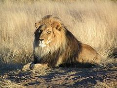 lion_http://species.wikimedia.org/wiki/Panthera_leo