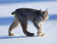Lynx_Canada_wikimedia_keith Williams