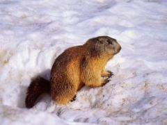 Marmotte-Neige_http://laharde.free.fr/nature/marmotte.html