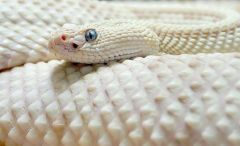 Serpent_blanc_http://smile-and-happy-x.skyrock.com