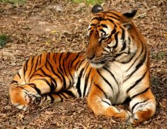 Tigre_http://commons.wikimedia.org/wiki/File:2012_Suedchinesischer_Tiger.JPG