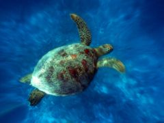 Tortue_Mer_Nouvelle_Caledonie_SToto98