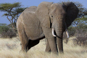 Elephant_Afrique_https://africanconservation.org/wildlife-news/african-elephant-populations-continue-to-decline-due-to-steady-poaching-trends/